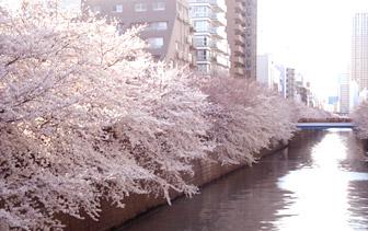 2012sakura1.jpg