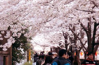 2012sakura2.jpg