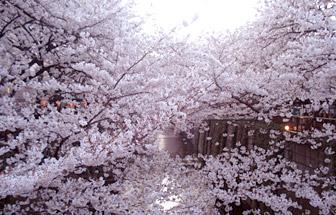 2012sakura3.jpg