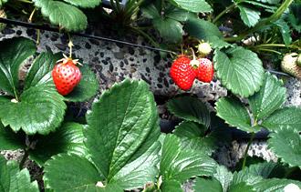 is_strawberry2.jpg
